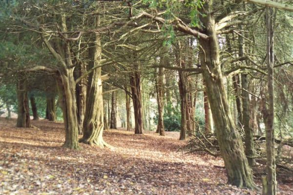 yew-trees-st-ives